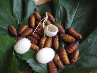 Silkworms April 18 2017